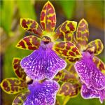 image orchids-vista-focus-png
