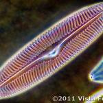 image diatom-2008sep29_2773-vista-focus-png